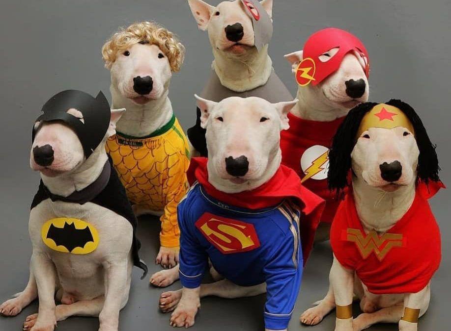 El mundo Bull Terrier SuperHéroe